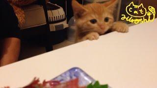 茶トラ子猫「ひろし」刺身ハンター登場↑ ひょこっと顔出し狙ってます↑ Funny cat video: Kitten hunting for sashimi thumbnail