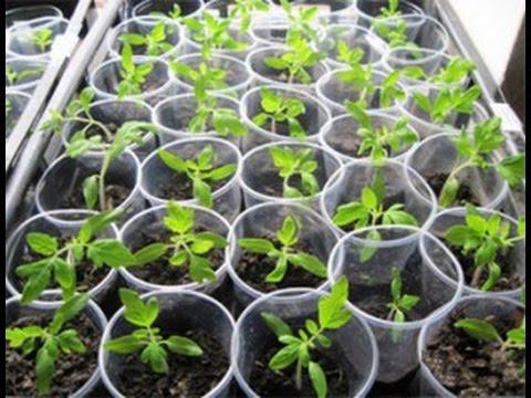 Как замочить семена для рассады 976