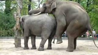 Download Elephant sex MP3 song and Music Video