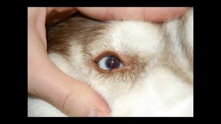 Сибирский хаски. Диабетическая катаракта