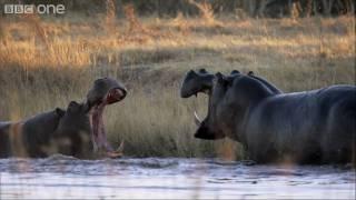 HD: Hippo Fight - Nature