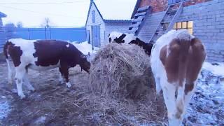 кАК РАЗДОИТЬ Корову ИЛИ Козу?ДОИТЬ-КОРМИТЬ НЕ НАДО?ПОЧЕМУ ДВУХРАЗОВАЯ ДОЙКА ЭФФЕКТИВНЕЕ?