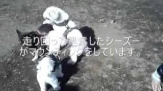 新宿は落合中央公園のドッグランです。 小型犬ばかりでしたが、1匹攻撃...