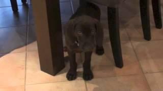 German Shorthaired Pointer Puppy