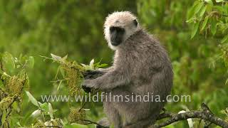 Wet and enjoying the Himalayan rain, this langur monkey chomps on fresh oak leaves
