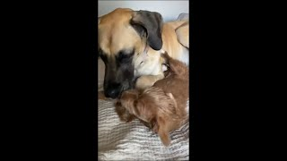 Puppy and Dog Licking Each Other as They Snuggle