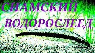 Аквариумные рыбки.СИАМСКИЙ ВОДОРОСЛЕЕД.(Это мирная и не крупная рыбка, настоящий чистильщик аквариума,ненасытный и очень подвижный. Обитает в Юго-В..., 2016-04-13T18:02:28.000Z)