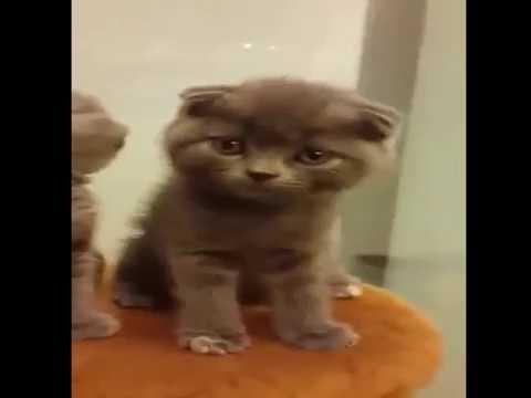 Amazing Scottish Fold Blue Cat  Sing Song