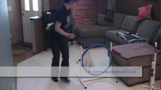 Harry, My Super Maltese, Agility Training At Home