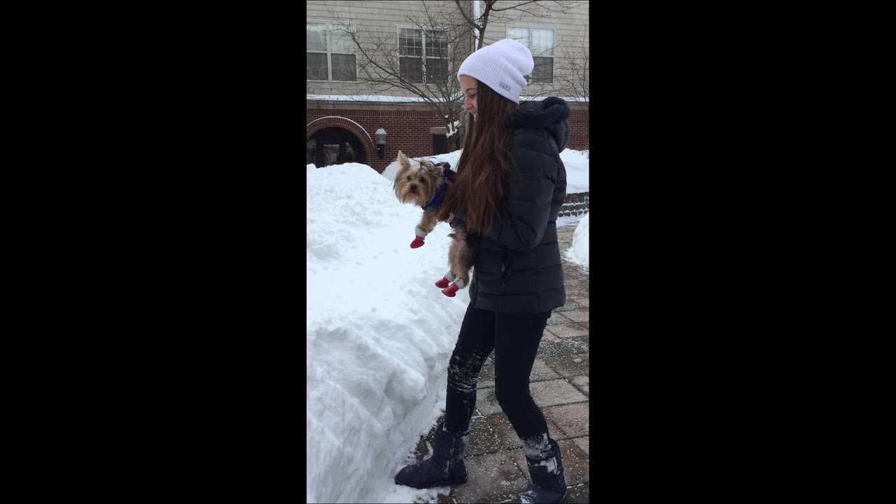 Yorkies Hate Snow Youtube