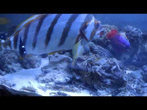 カニ60匹投入!魚が捕食!食べる時の音が生々しい aquarium
