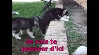 Chiot Husky aidant son copain à monter sur un mur.  (vf) #Humour