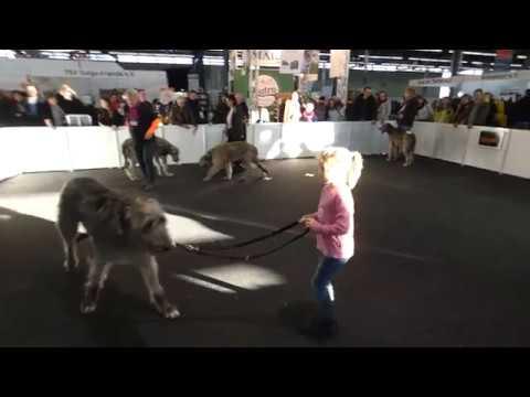 Dog Live Münster Irish Wolfhounds