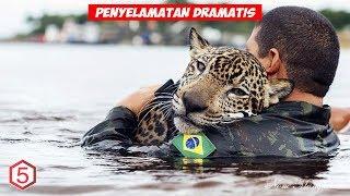 Tentara Brazil dan Jaguar, inilah Aksi Penyelamatan Hewan Paling Dramatis