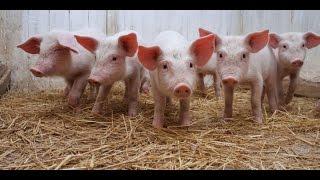 Mordern Farming   PIGGERY