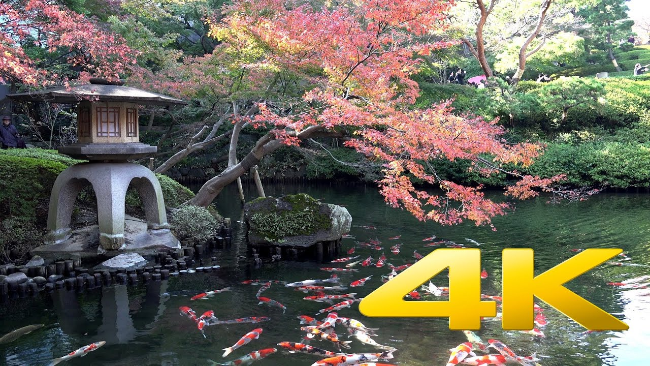 Koi fish 4k ultra hd youtube for Koi pond japan