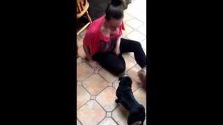 Naughty Black Mini Pug Playing With Aunty Lilly - With  Yorkshire Terrier