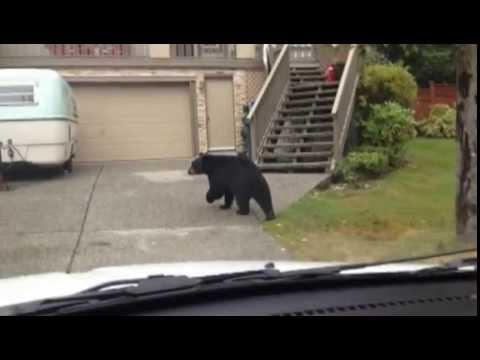 Big, Lazy Bear Leads Slow Chase In B.C. Neighbourhood