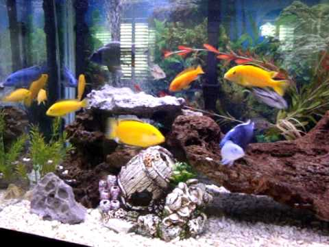 African and Jewel Cichlid Together
