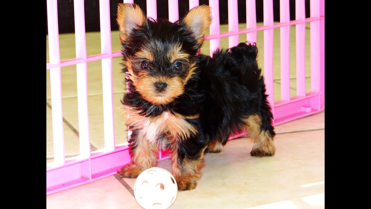 yorkie poo for sale in ga yorkshire terrier yorkie puppies dogs for sale in 7561
