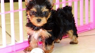 Yorkshire Terrier Puppies For Sale, In Albany, County, Georgia, Ga, Alpharetta, Marietta