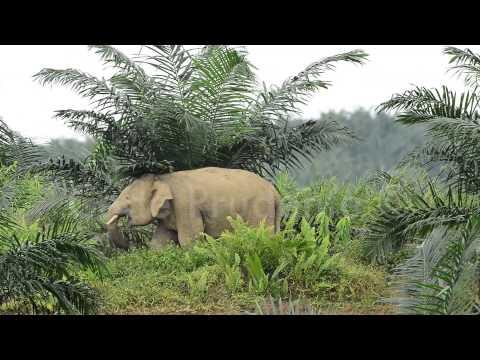 Bornean elephants in Oil Palm Plantation, Sabah, Malaysia
