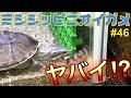 【ミシシッピニオイガメ】飼育 46 ヤバイ⁉︎クーリーローチ追加‼︎