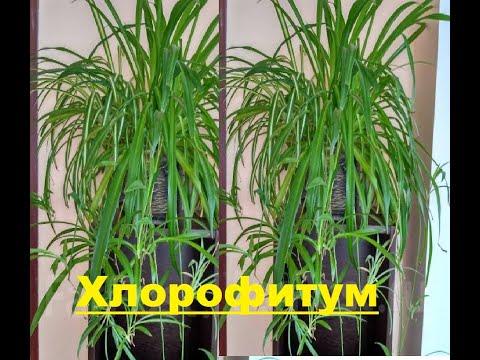 Вопрос: Хемионитис – что это за растение Как за ним ухаживать?