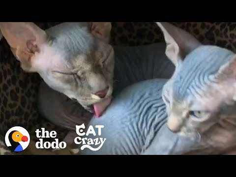 Hairless Cat Brothers Love To Wrestle And Growl At Each Other | The Dodo Cat Crazy