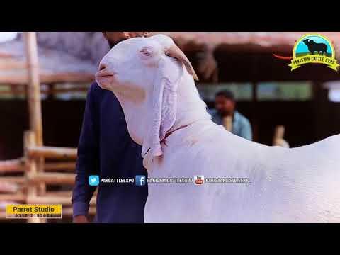 Mohammad Ahmed cattle farm 2017