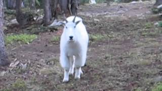 Colorado Mountain Goat Encounter