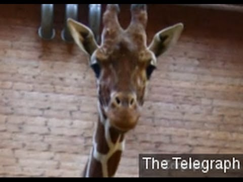 Copenhagen Zoo's Killing Of Healthy Giraffe Sparks Outrage