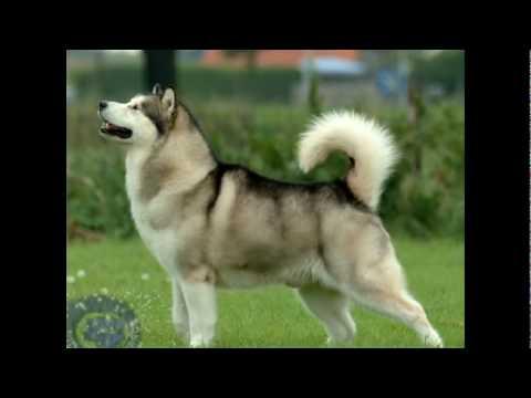 Vida de Perros: Alaskan Malamute 1/3