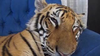 ブチャイク顔で熟睡のトラ、野生を完全に失う