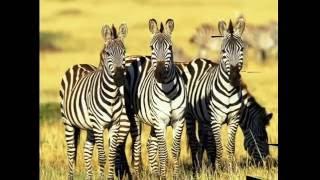 Скакуны саванны зебры