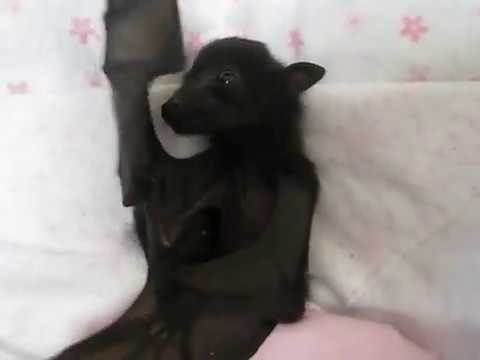 Cute baby bat flapping and yawning