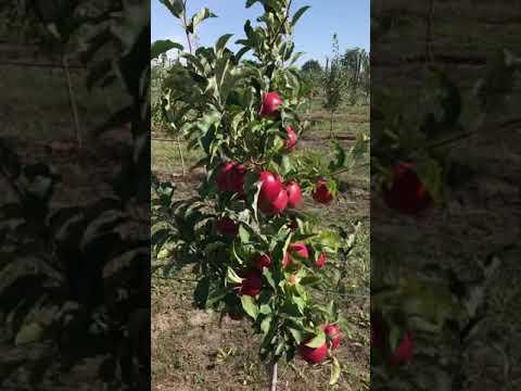 Яблочный сад мм106