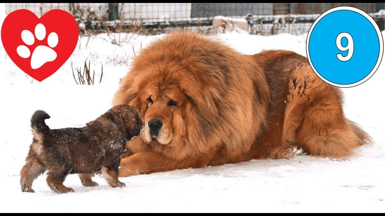 Tìm hiểu về các giống chó ngao trên thế giới | vnlovepets