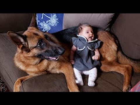 Funny Animals - German Shepherd Dogs Playing with Babies Compilation 2016 - Funny Dogs videos