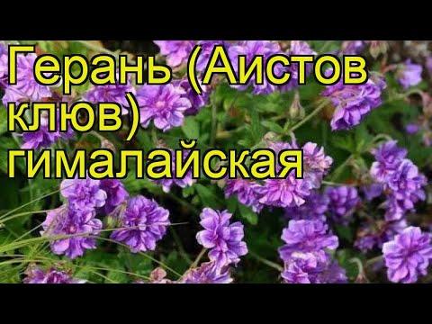Герань гималайская. Краткий обзор, описание характеристик, где купить саженцы geranium himalayense
