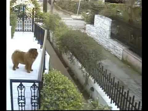 Cat attacks dog (chow chow vs cat)
