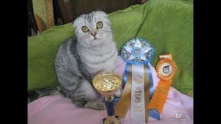 Шотландская вислоухая кошка Китти пришла в гости к попугаю Корелла Жоре.