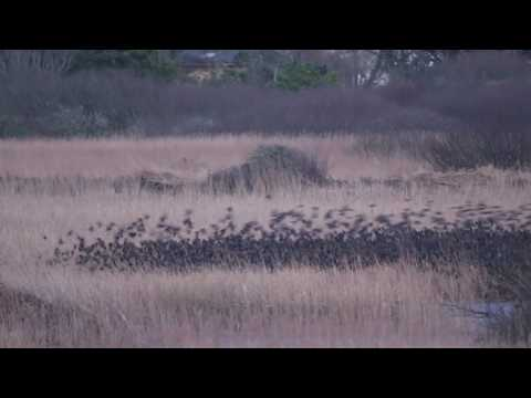 Thousands of Starlings flock and perform ballet in the sky