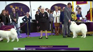 SAMOYED Westminster Kennel Club Dog Show 2017