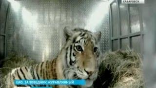 Вести-Хабаровск. Тигр-путешественник Устин