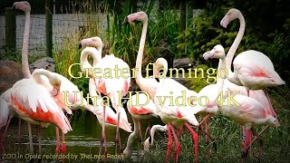 Greater Flamingo Phoenicopterus Ruber Roseus - Zoo In Opole - Ultra Hd Video 4k