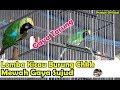 Lomba Kicau Burung Cucak Ijo Kk Chkk Mewah Tampil Memukau Dikelas Ful Gantangan Gaya Sujud  Mp3 - Mp4 Download