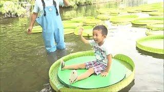 富山市で、大きなスイレンの葉に乗る体験が行われています。 スイレン科...