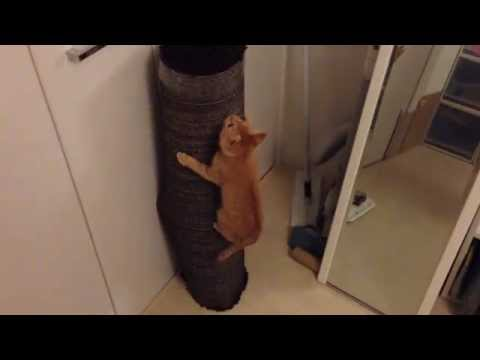 茶トラ子猫「ひろし」久しぶりのトレーニング!木登り編↑ Tabby Cat Hiroshi Practicing his Climbing Moves