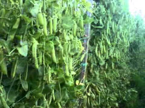 cultivo de arveja - produccion. - youtube